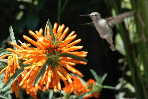 A hummingbird in midflight.